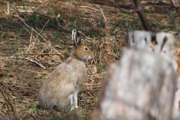 ユキウサギの画像 p1_1