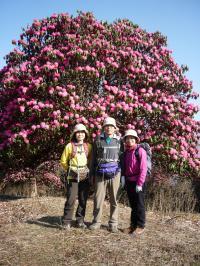 3月、4月にお勧めしたいヒマラヤの石楠花トレッキング