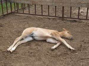 仔馬の昼寝