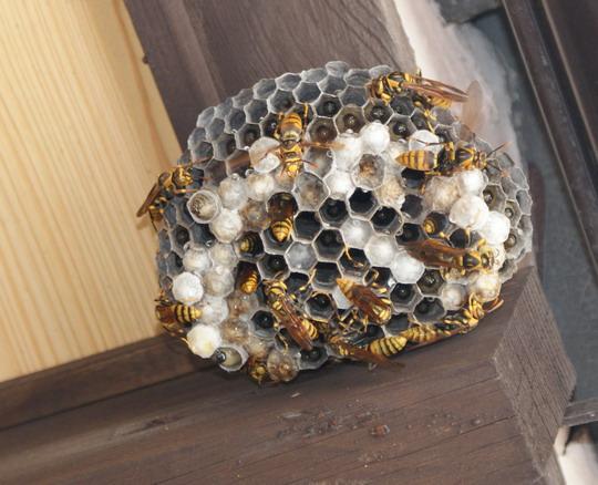 アシナガバチの画像 p1_27